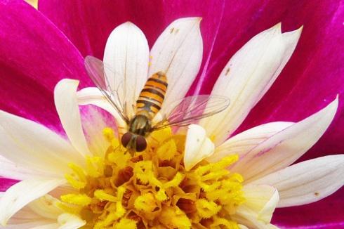 Insecto sobre flor Dhalieta, 2012 (Foto: Paco Azanza Telletxiki)