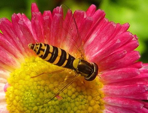 Insecto sobre flor de bellis, 2011 (Foto: Paco Azanza Telletxiki)