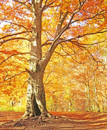 Hayedo en otoño, 2014 (Foto: Paco Azanza Telletxiki)